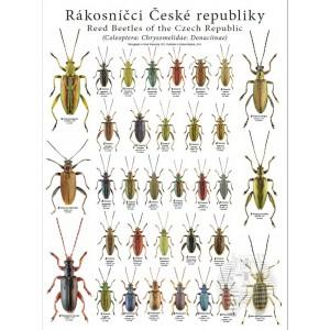 http://www.entosphinx.cz/1258-3965-thickbox/pl03-donacia-aquatica-de-la-republique-tcheque-coleoptera-chrysomelidae-donaciinae.jpg