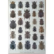 PL04 - Family Trogidae MacLeay, 1819