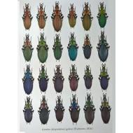 PL05 - Carabus (Acoptolabrus) gehini (Fairmaire, 1876)