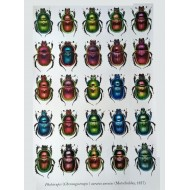 PL07 - Phelotrupes (Chromogeotrupes) auratus auratus (Motschulksy, 1857)