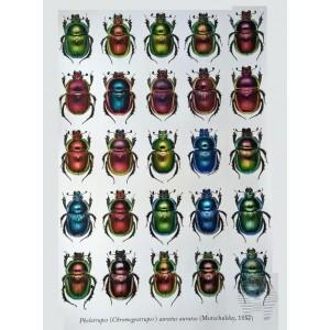 https://www.entosphinx.cz/1348-4353-thickbox/pl03-donacia-aquatica-de-la-republique-tcheque-coleoptera-chrysomelidae-donaciinae.jpg